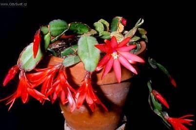 Его называют пасхальный кактус